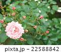 バラの花 22588842