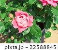ピンクのバラ 22588845