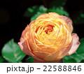 オレンジ色のバラ 22588846