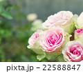 ピンクのミニバラ 22588847