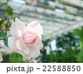 ピンクのバラ 22588850