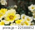 黄色い花 22588852