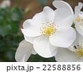 白い花 22588856