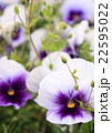 パンジー畑 22595022