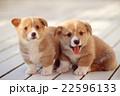 仲良しコーギーの仔犬 22596133