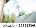 カマキリ 22598596