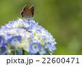 紫陽花とベニシジミ 22600471