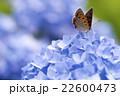 紫陽花とベニシジミ 22600473
