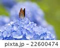 紫陽花とベニシジミ 22600474
