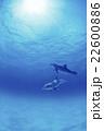 バンドウイルカ バハマ 22600886