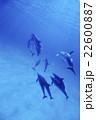 タイセイヨウマダライルカ バハマ 22600887