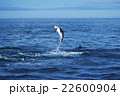 ハラジロカマイルカのジャンプ ニュージーランド カイコウラ 22600904