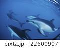 ハラジロカマイルカ ニュージーランド カイコウラ 22600907
