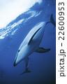 ハラジロカマイルカ ニュージーランド カイコウラ 22600953
