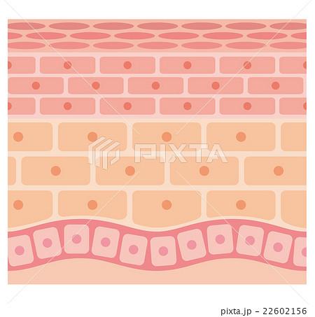 肌の断面図 22602156
