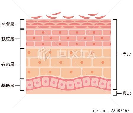 肌の断面図 22602168