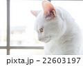 窓辺の白ネコ 家猫  22603197