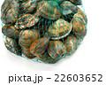 浜名湖産のあさり(特大サイズ)。潮干狩り風に網に入ってます。 22603652