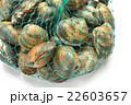 浜名湖産のあさり(特大サイズ)。潮干狩り風に網に入ってます。 22603657