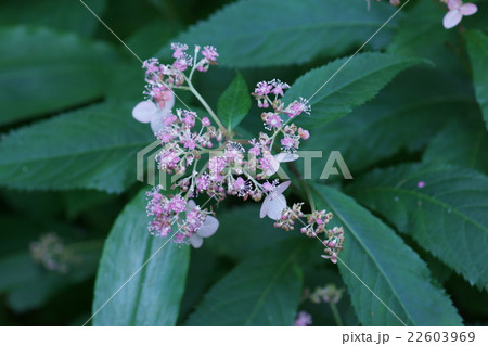 草紫陽花クサアジサイ 花言葉は「移り気」 22603969