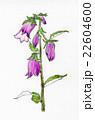 紫色の「ホタルブクロ」(手描きイラスト) 22604600