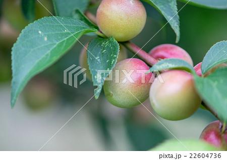甲州小梅 収穫時期 22604736