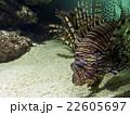 深海魚 22605697