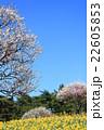 梅 水仙 春の写真 22605853