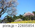 梅 水仙 春の写真 22605854