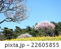 梅 水仙 春の写真 22605855