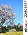 梅 水仙 春の写真 22605857