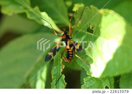 生き物 昆虫 ホリカワクシヒゲガガンボ、ガガンボはやたら種類が多いようですが中では美形の方かと 22615079