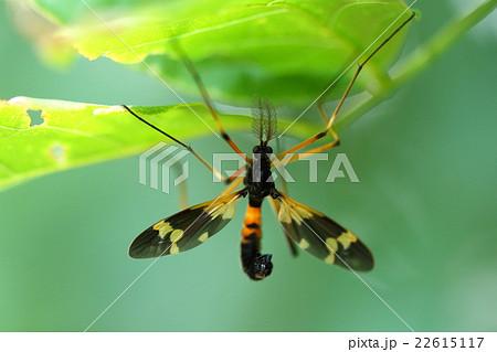 生き物 昆虫 ホリカワクシヒゲガガンボ、オスの触角は名前の通りクシ状になっています 22615117