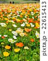 アイスランドポピー畑 22615413