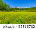 大町市中山高原の菜の花1 22616782