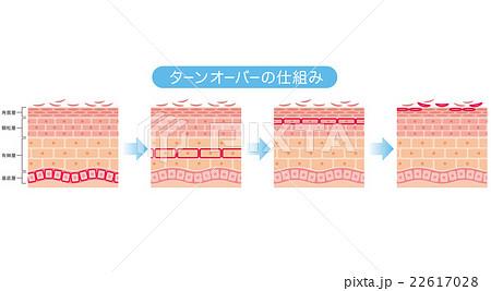 肌のターンオーバー 断面図 22617028