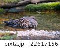 キジバト turtle dove 22617156