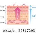 肌 断面図 細胞のイラスト 22617293