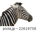 Zebra head vector 22619738