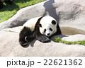 パンダ 22621362