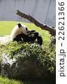 パンダ 22621366