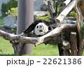 パンダ 22621386