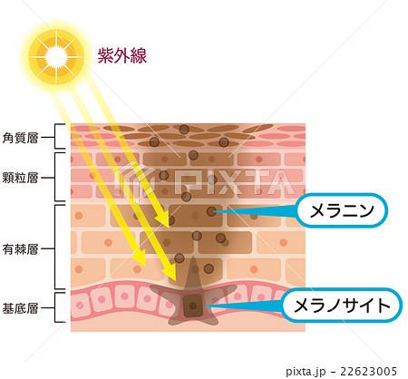 肌の仕組み シミ メラニン 22623005