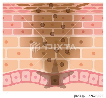 肌の仕組み シミ メラニン 22623022