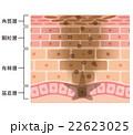 肌の仕組み シミ メラニン 22623025