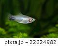 熱帯魚 22624982