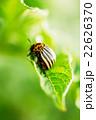 ビートル 甲虫 カブト虫の写真 22626370