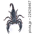 Emperor Scorpion on white background 22628467