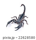 Scorpion on white background 22628580