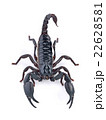 Scorpion on white background 22628581